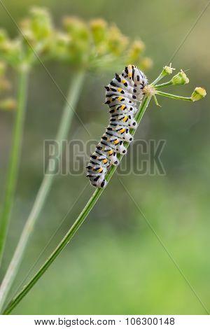 Papilio Machaon Caterpillar