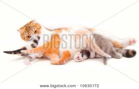 The Cat Which Feeds The Five Kittens