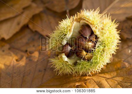 Chestnut Shell On Leaves