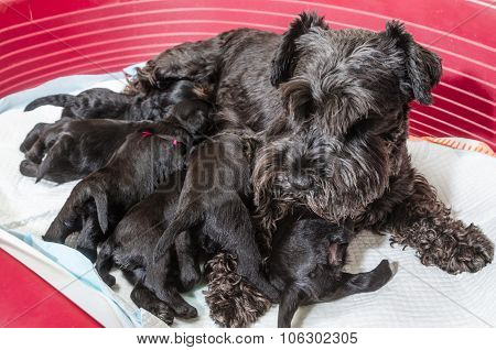 Dog Breed Miniature Schnauzer Puppies Feeds