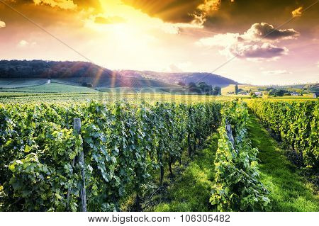 Landscape With Autumn Vineyards At Sunset