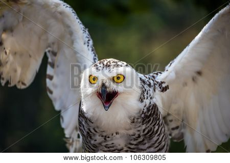 Detail Of Snowy Owl With Beak Open On Dark Background