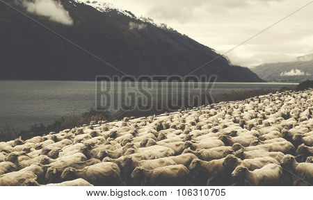 Herd Sheeps Scenic Lake Mountain Farm Livestock Concept