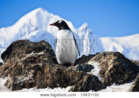 Pinguim sobre as rochas