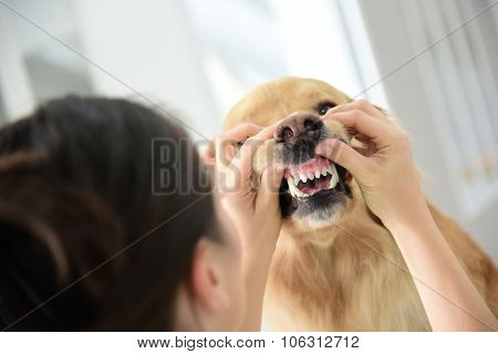 Veterinarian checking dog's teeth