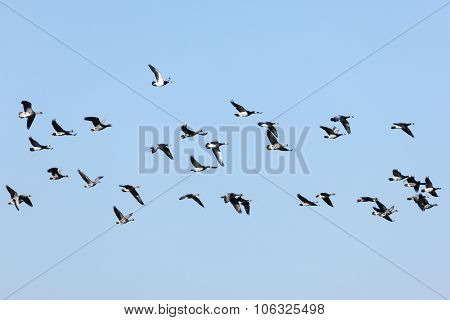 Group of flying Barnacle Geese and Greylag Geese