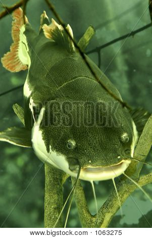 97 Lb Redtail Catfish