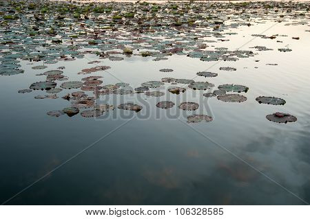 Giant Water Lilies Asia Sunset