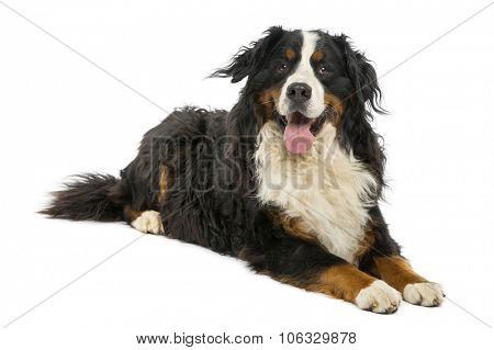 Bernese Mountain dog lying in front of a white background