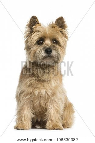 Cairn terrier sitting in front of a white background