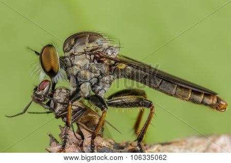 Photography macro of Robber fly (Asilidae) with prey.