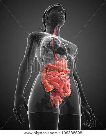Small Intestine Anatomy Of Female