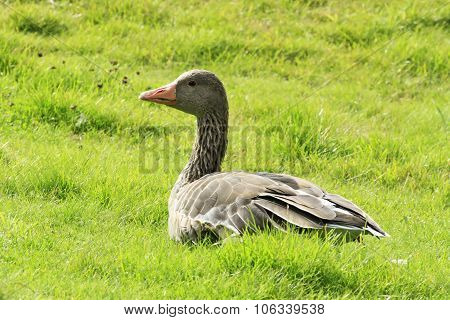 Greylag goose on meadow