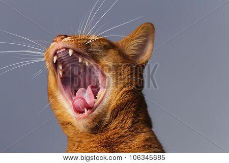 Abyssinian Cat Yawning