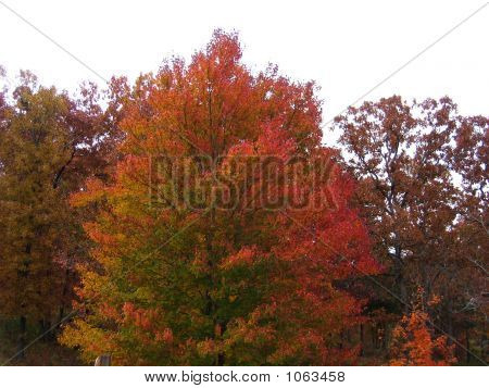 Autumn Vibrant Tree