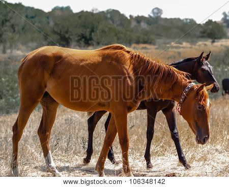Brown young stallion is seen behind the Red Mare