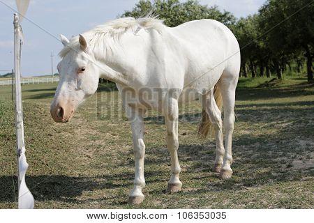 Single White Horse On Meadow