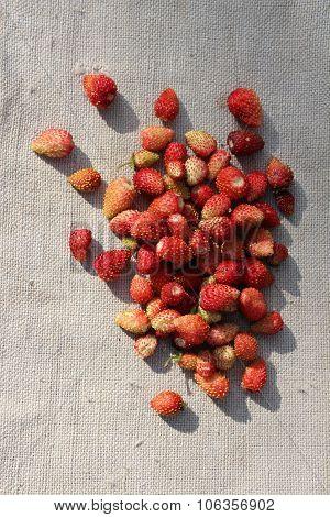 The wild strawberry on a sacking.