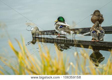 Wild Ducks Old Boat