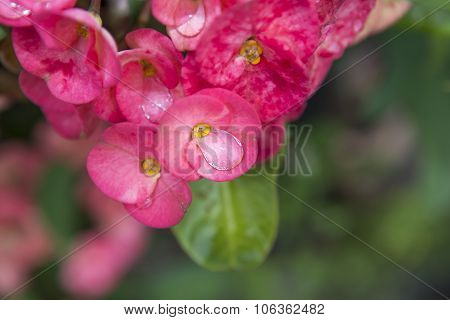 Pink Euphorbia Milii Flowers Blooming And Refreshing Drops Of Dew In The Morning. Crown Of Thorns, C