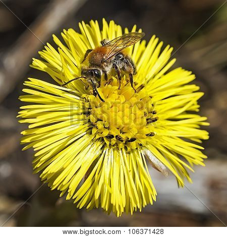 Medicinal plant mother and stepmother (Tussilago Latin)