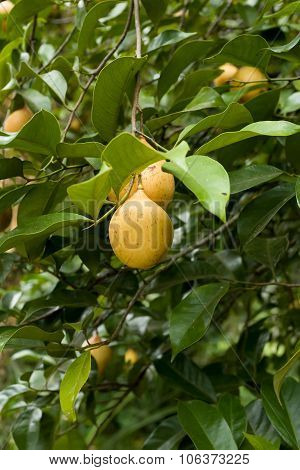 Raw Nutmeg Hanging On Nutmeg Tree, North Sulawesi