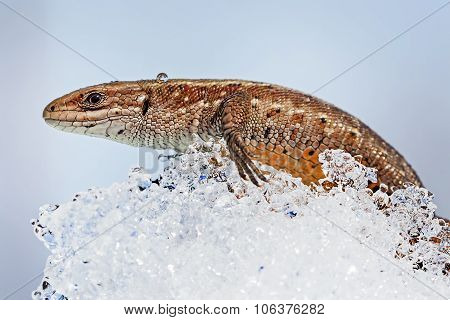 The fauna of Siberia - Sand lizard (Latin Lacerta agilis)
