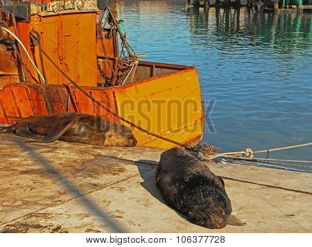 Two lazy Sea Lions