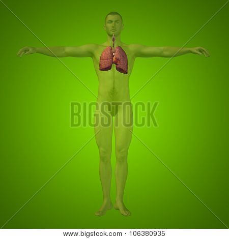 Concept or conceptual anatomical human or man 3D respiratory system on green background