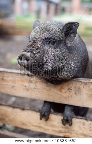 Pig waiting for lunch