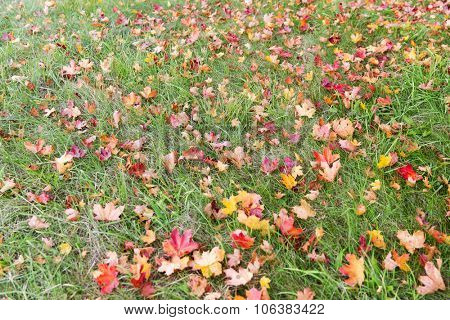 autumn, season and nature concept - close up of fallen maple leaves on grass