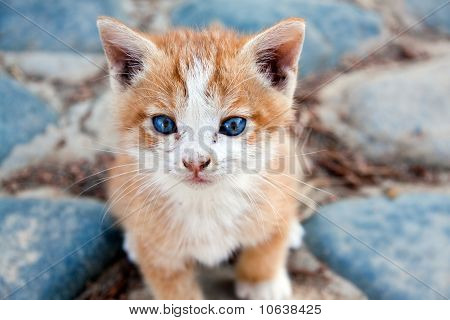 young little red England lop - eared kitten