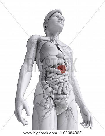 Male Spleen Anatomy