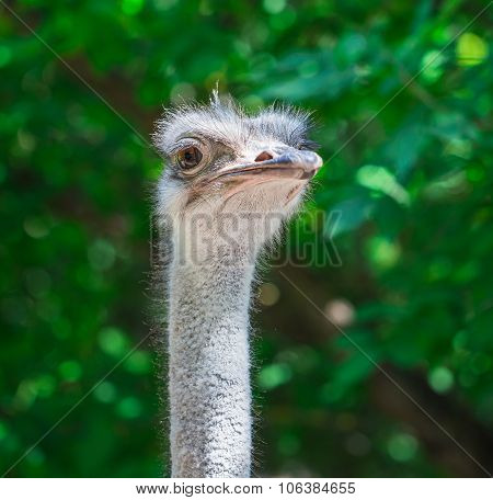 Curious African Ostrich Walking In The Paddock