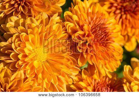 Autumn Mums Or Chrysanthemums