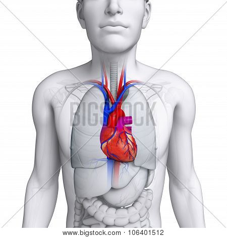 Male Heart Anatomy