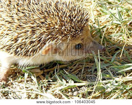 hedgehog with big ears