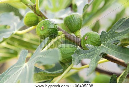 Fig tree closeup