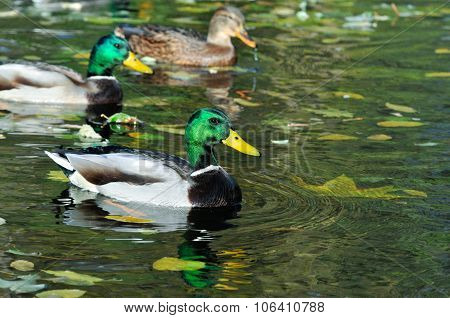Mallard,duck,drake.