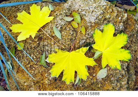 Top View Of Several Big And Small Yellow Autumn Leaves