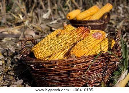 Corn Cobs In Basket In Field