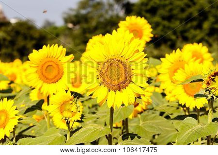 Farmland of sunflower plants captured on a bright sunny morning