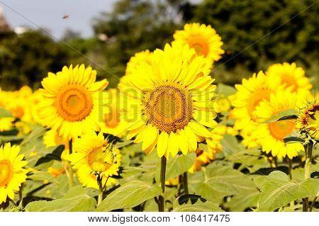 Farmland of sunflower plants captured on a bright sunny morning