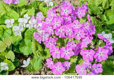 Purple Primrose