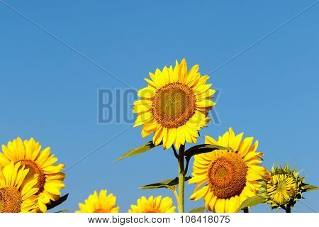 Farmland of sunflower plants captured on a bright sunny morning on a blue sky background