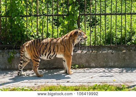 SiberianTiger and grinned