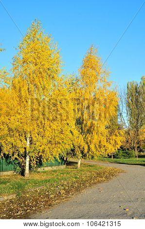 Birch. Autumn yellow leaves birch tree.