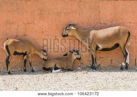 Goat family moment outside a farm house.