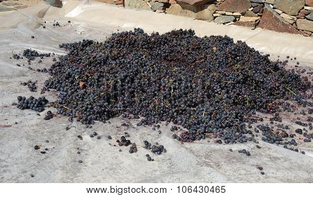 Black Grapes Ready To Go A Homemade Winery To Make Wine