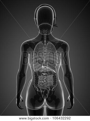 Female Xray Digestive System